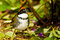 Chestnut Capped Brush Finch