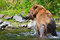 Alaska Brown Grizzly Bear Catches Fish