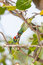 Coppersmith Barbet bird fighting together