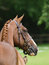 Thoroughbred Head Shot