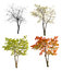 Four seasons maple tree isoalted on white