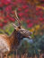 Young male elk bugles in fall, autumn colors of Cataloochee valley