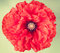 Single poppy flower on vintage  background
