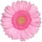 Isolated pink gerbera daisy flower