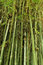 Green bamboo tree texture