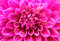 Abstract macro of pink dahlia daisy flower with lovely petals