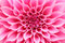 Abstract closeup(macro) of pink dahlia flower with pretty petals