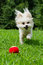Portrait of maltipoo dog playing with ball