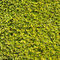 Hedge green leaves similar grass texture background wall