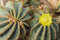Flowers of prickly pear