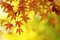 Colorful Japanese Maple Tree Leaves Background