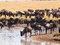 Herd of wildebeest stands on the banks the river