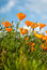 Orange Poppies Field