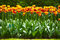 Tulip flowers garden in spring background or pattern