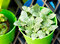 Nerve Plant Or Mosaic Plant In Bright Green Pot.