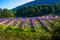 Lavender fields near the French Provence