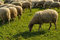 Sheeps browsing on grass