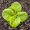 Young Butterhead Lettuce Plant in the Vegetable Garden