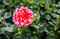 Red flowering Dahlia plant after the rain