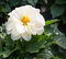 White flowering Dahlia plant after the rain