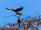 A pair of hornbills over the jungle at dawn