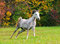 White arabian horse in autumn field