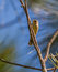 Palm Warbler on vertical pine branch
