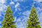 Two fir tree with blue sky