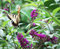 Yellow Butterfly flying to Butterfly Bush