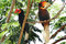 Male and female Hornbills