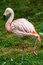 Pink flamingo sleeping with leg up