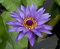 Purple water lily in the pond