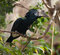 Silvery-cheeked Hornbill (Bycanistes brevis) in forest
