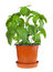 Basil plant in pot
