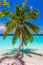 Coconut palm tree at tropical beach in Maldives