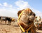 Camel's head in the desert with funny expression