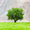 Lone green tree on the field in Ladakh, India