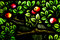 Apples in a tree (stained glass window)