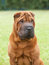 Portrait of a purebred dog Chinese Shar-Pei