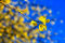 Detail of yellow leaves on the sun with blue sky