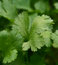 Close up coriander