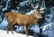 Red deer in the snow, Italy