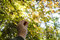 Formosan sweetgum in hand,maple leaves in nature