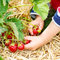 Hands of little child picking strawberries