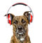 Dog listening to music on headphones. isolated on white