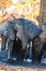 Bull elephant at waterhole