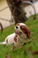 Cavalier King Charles Spaniel young dog is laying on the green grass  and chewing wooden stick