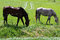 Two Beautiful Healthy Horses Feeding Feeding On Grass