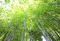 Blurred green bamboo tree