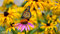 A Monarch Butterfly on a purple Echinacea cone flower